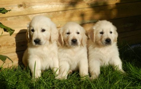 3 adorable little golden retriever puppies sitting snuggled together on the grass!
