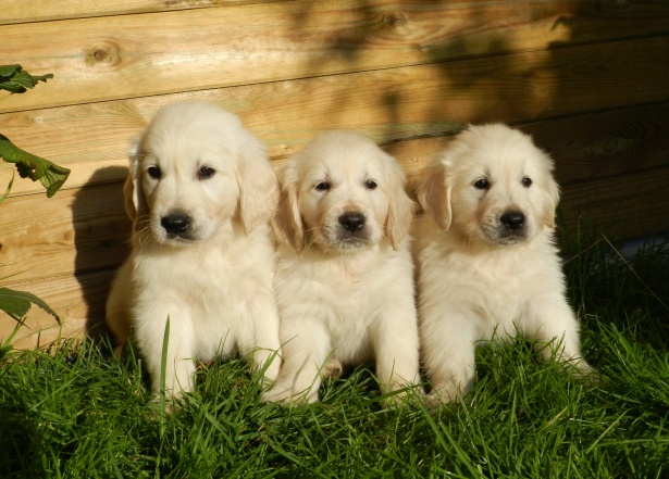 3+adorable+little+golden+retriever+puppies+sitting+snuggled+together+on+the+grass%21